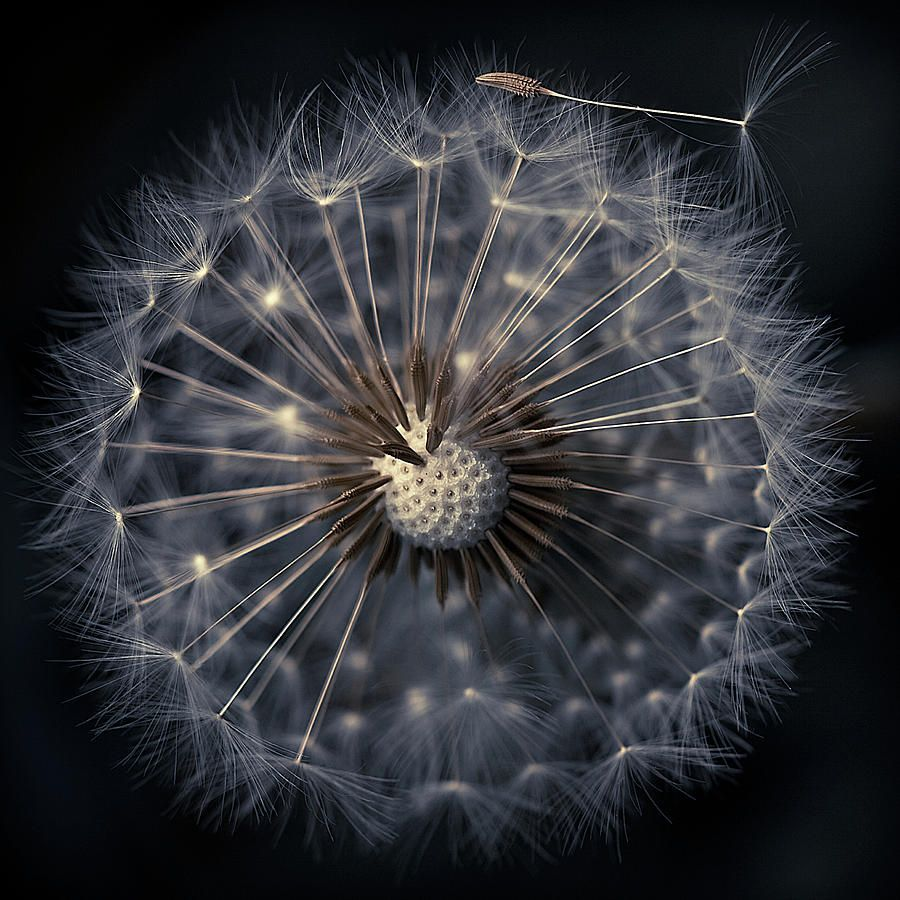 Dandelion seeds on black background black backgrounds