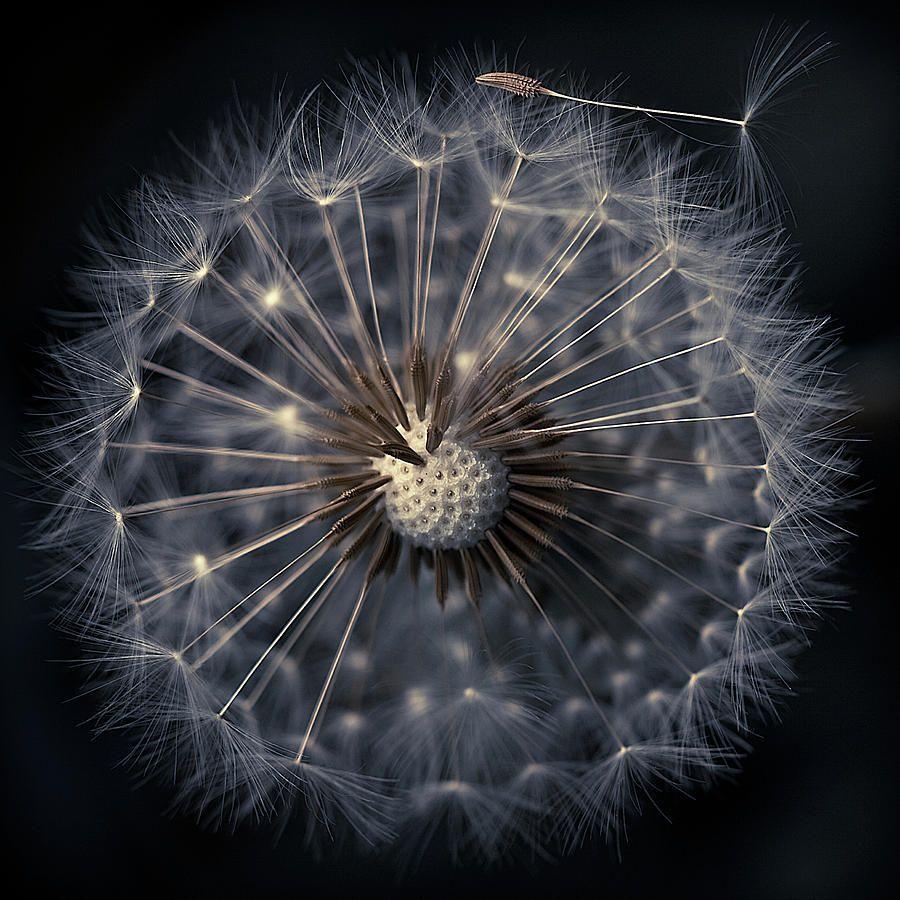 Dandelion seeds on black background black backgrounds