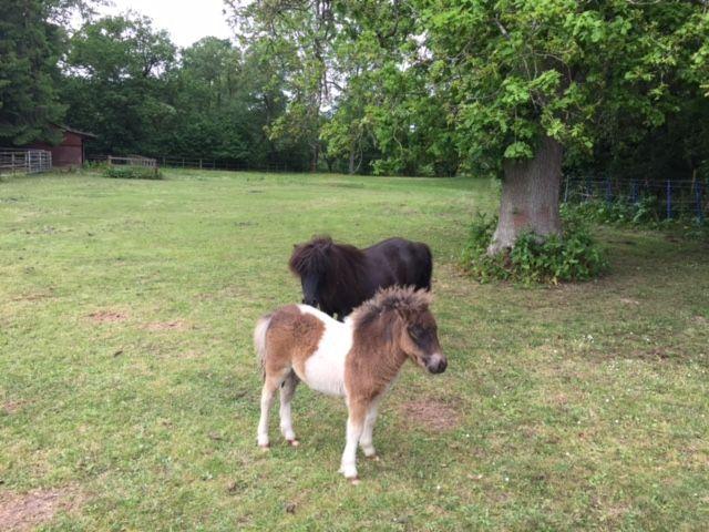 Shetland Pony Classifieds | Shetland Ponies for Sale | Miniature ...
