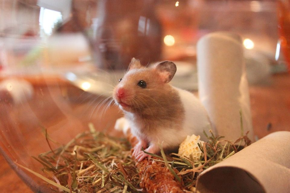 Healthy Hamsters Pair For Sale In India At Affordable Price Buy