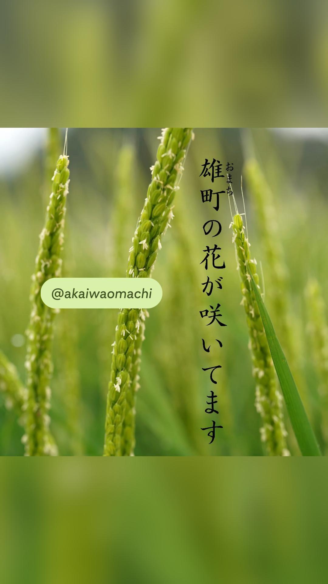 幻の酒米「雄町」の花が咲いています。この一瞬を見逃すな!これで、あなたも日本酒通。フォロー、保存して、ご一緒に成長を見守ってください。#酒   #雄町 #赤磐雄町 #日本酒  #有機栽培