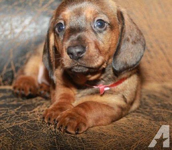Dachshund Puppies For Sale In Alabama Zoe Fans Blog Dachshund