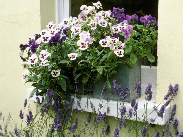 Simple Design Of Mixed White And Purple Pansies Winter Pansies Fall Container Gardens Pansies