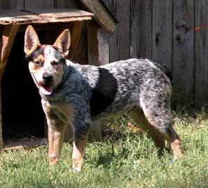 Australian Cattle Dog Dog Breed Information Aussie Cattle Dog