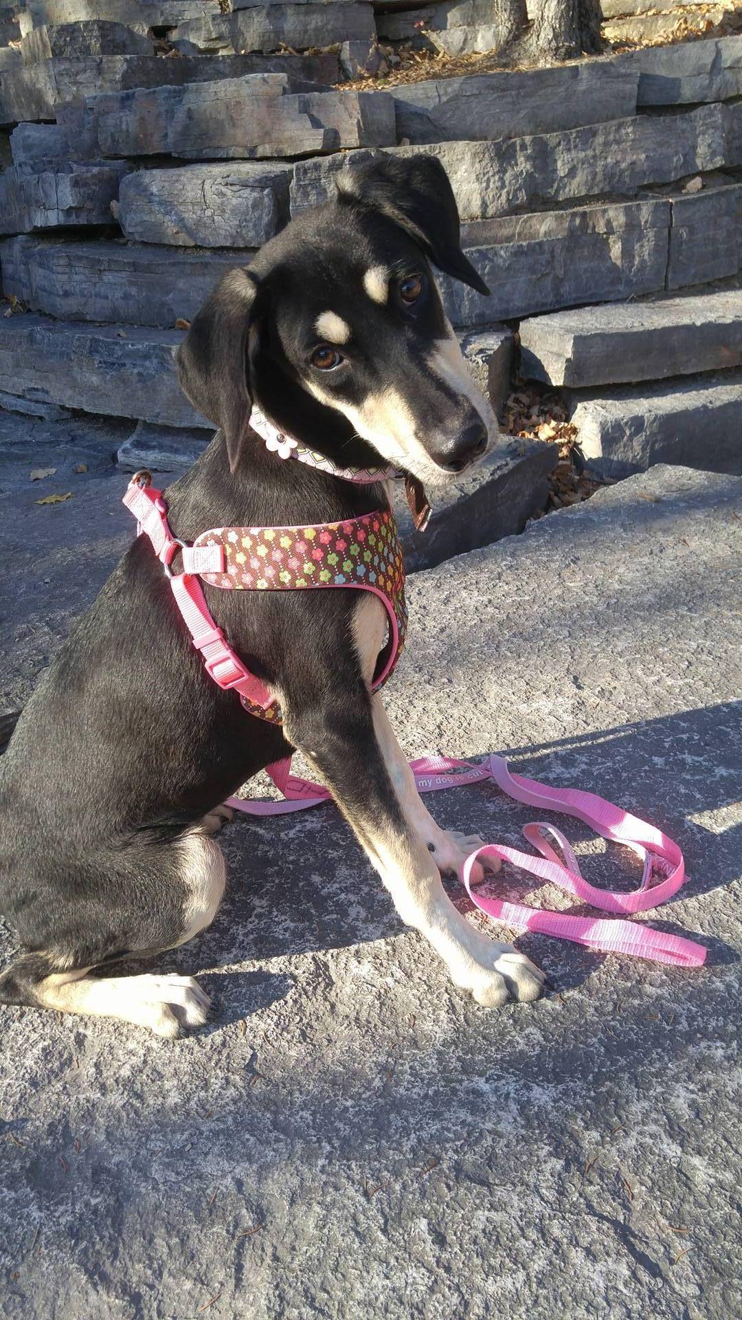 Adopt Bohdi on Shepherd mix dog, Labrador retriever