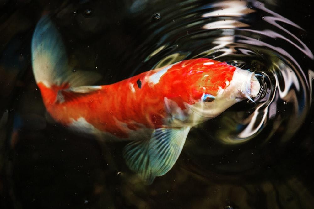 Makeup and Age Koi fish pond, Koi fish, Koi carp