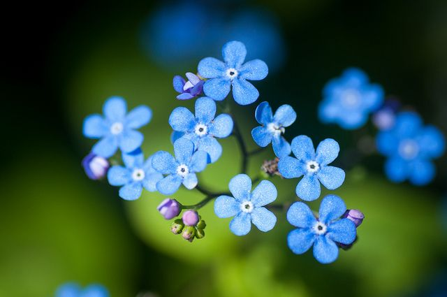 Forget Me Not Flower Guide Flora Flowers Pretty Flowers