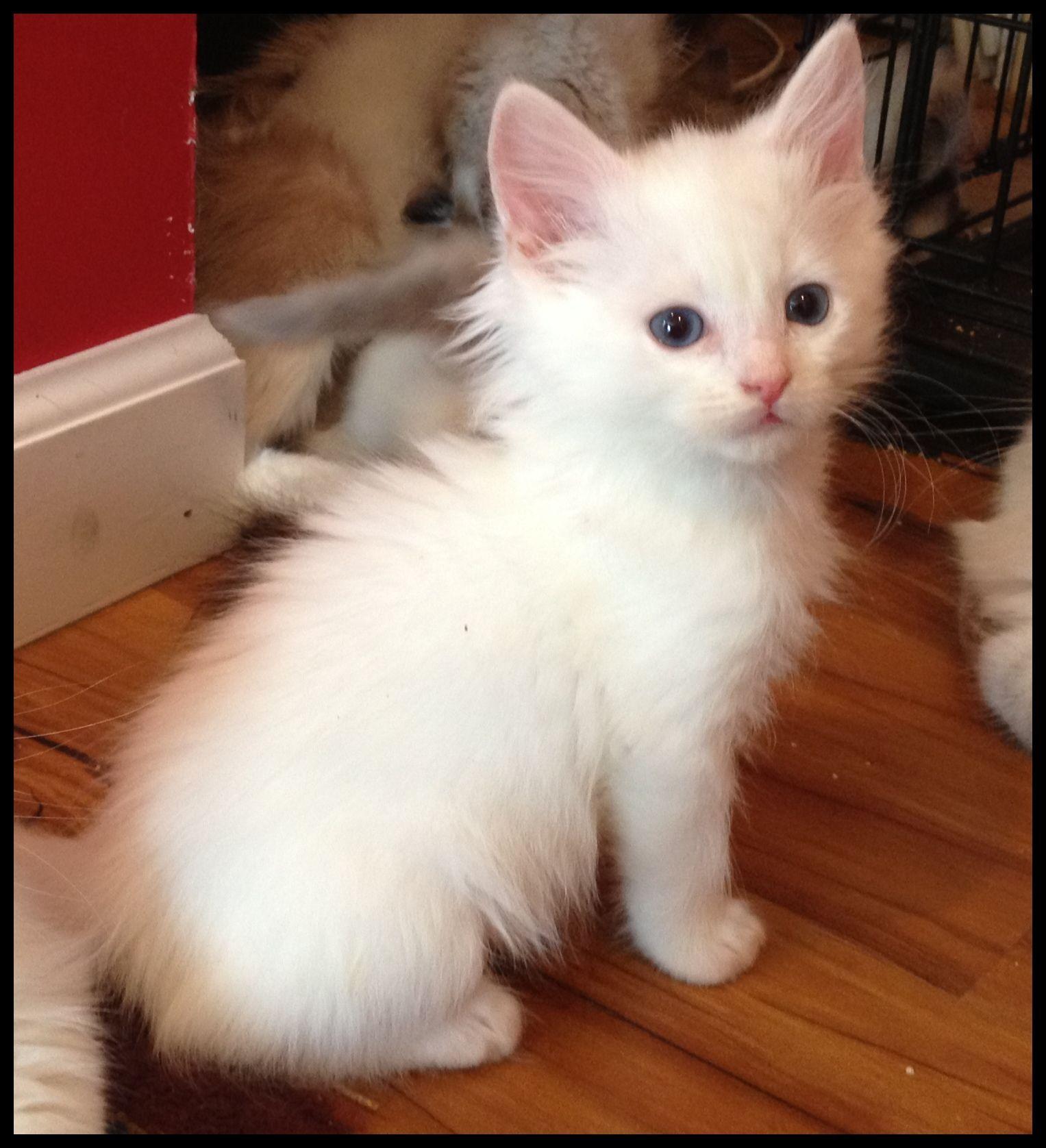 BEW RAGDOLL KITTY Ragdoll kittens Pinterest