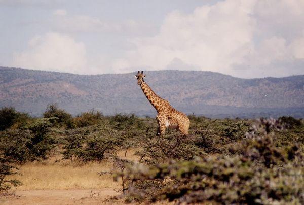 http://www.tournonsensemble.com/kenya/photos/kenya_massai_girafe1_g.JPG