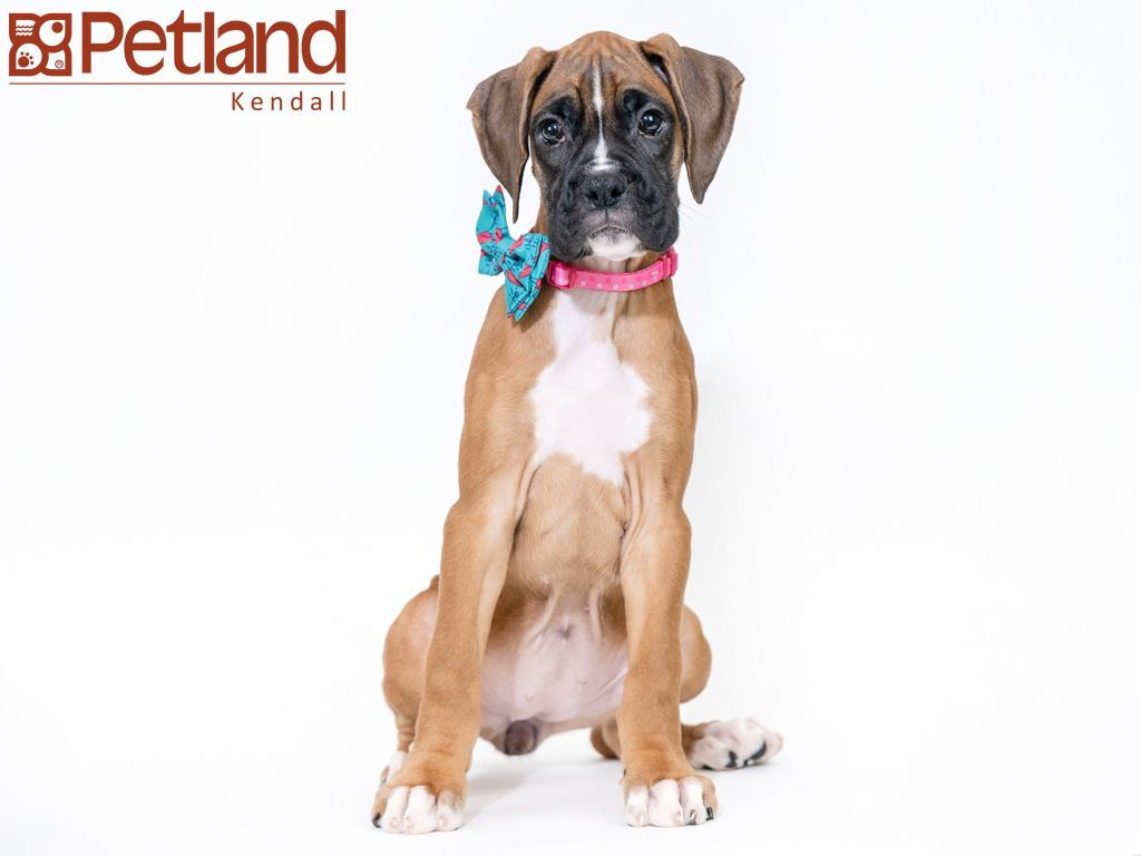 Petland Florida has Boxer puppies for sale! Check out all