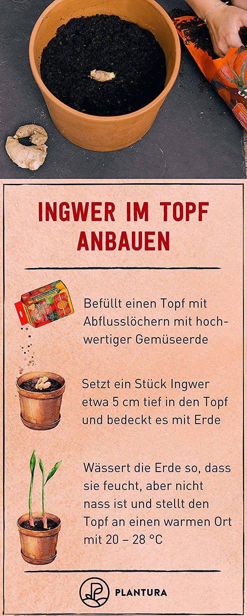 Photo of Wie bauche ich Ingwer im Topf an?