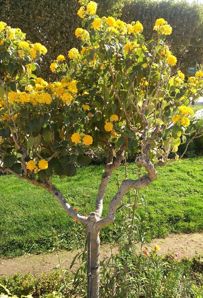 Lantana Camara Yellow Flowers How To Grow Lantana Camara Plant Growing Beautiful Lantana Camara Plant In Your Garden Ht Lantana Plant Lantana Lantana Camara