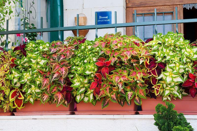 Odmiany Komarzycy Na Balkonie Najlepiej Sie Sprawdzaja Bardzo Dobrze Prezentuja Sie Zwlaszcza Ich Zwisajace Pedy Pelne Cieka Plants Outdoor Structures Outdoor