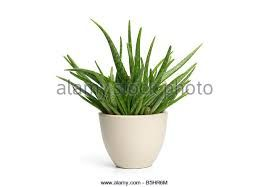 Image result for aloe vera plant