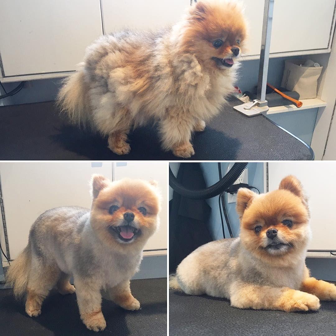 Little Miss Pixie Customerrequest Victoriabc Yyj Gordonhead Cordovabay Cadborobay Fernwood Fairfield Saanich Petgroomi Pet Groomers Pets Dog Grooming
