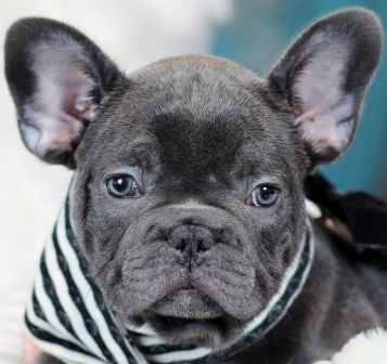 French Bulldog Puppies For Sale Dogs For Sale French Bulldog