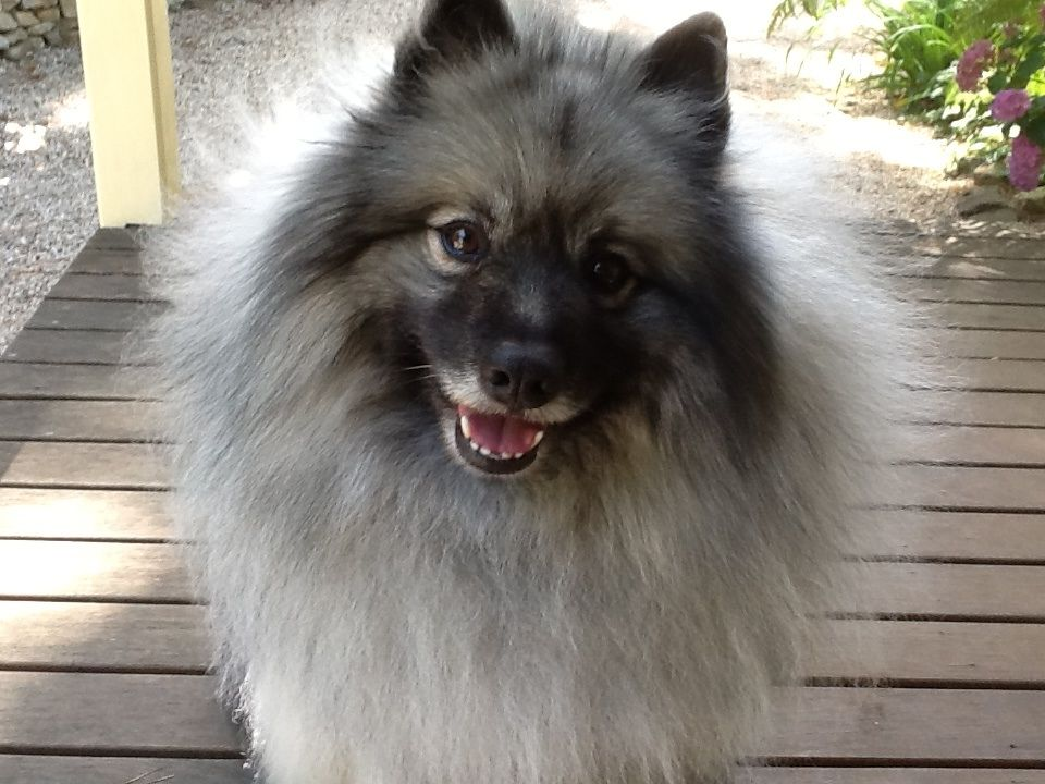The winner...Scout our Golden mix Puppies, Keeshond, Pooch