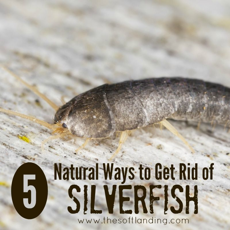 5 Nontoxic Ways To Rid Your Home Of Silverfish Get Rid Of