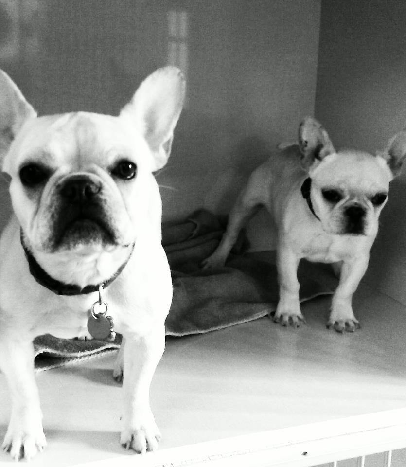 Stella Lola French Bulldog Bulldog Dogs
