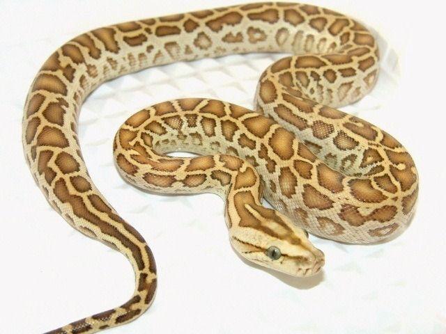 hypo burmese python reptiles burmese python python