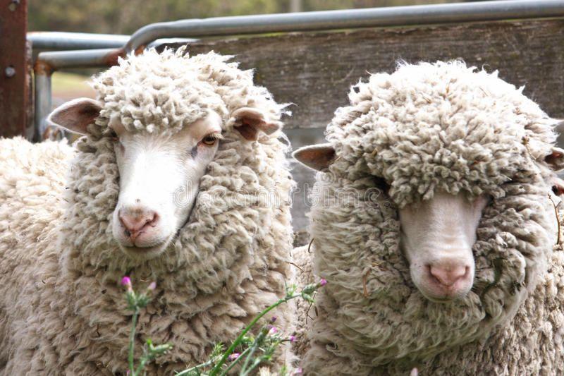 Sheep Two Australian Sheep In An Enclosure Sponsored Australian Sheep Enclosure Sheep Ad Animals Images Australian Sheep Breeds