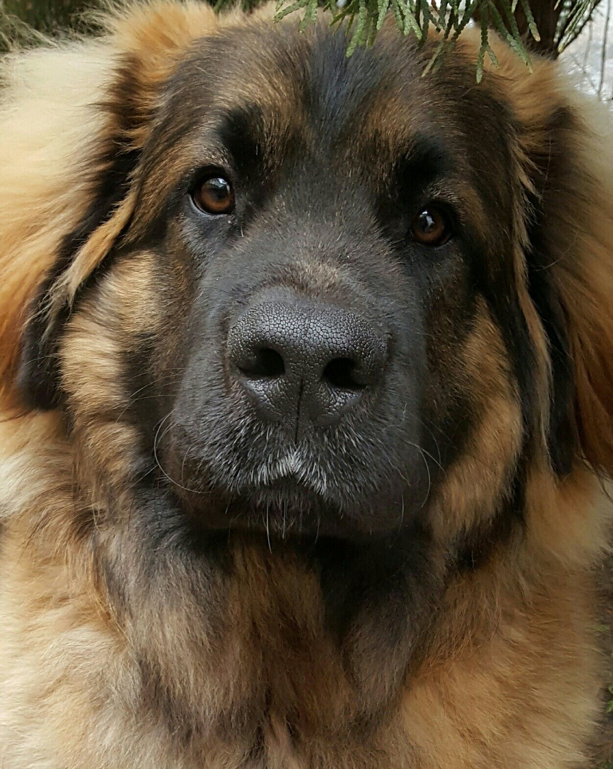 Pin By Karsta On Leonberger Giant Dog Breeds Leonberger Dog Leonburger Dog
