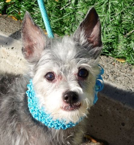 SAFE!!!!!!!!!!!!! DINO - A1031993 - - Manhattan Please Share:TO BE DESTROYED 10/18/16 At 11 years old this little nugget was given up to the shelter's care due to NO TIME. He had previously lived with a family for two weeks after being given up by a family who had no time for him either. At 11 years old, Dino does have a few senior medical issues but his biggest issue at the moment is that he has been a faithful companion for over a decade and no one seems to give a damn. He has not