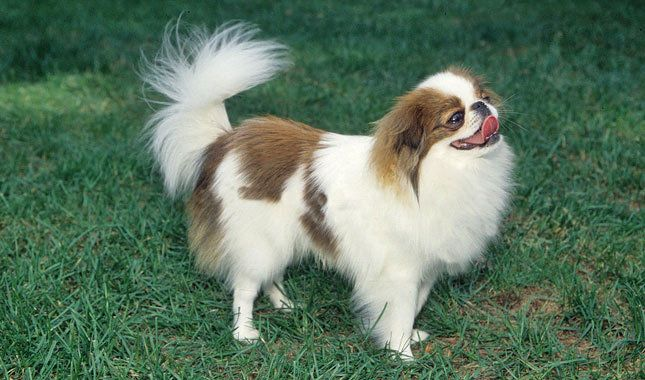 Japanese Chin Breed Information With Images Japanese Chin Dog