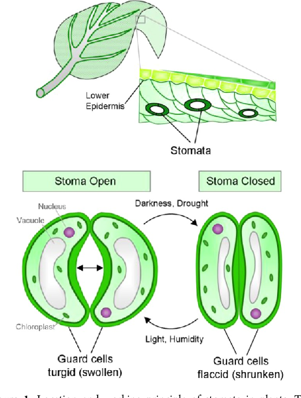 Figure 1 From Smart Hydrogel Based Valves Inspired By The Stomata In Plants Semantic Scholar In 2020 Stoma Respiratory System Parts Of A Plant