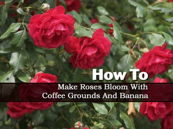 Making Roses Bloom With Coffee Grounds And Banana Coffee Grounds Plant Care Today Rose Plant Care