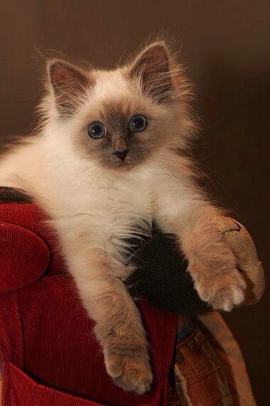 fluffy baby siamese kittens | Siamese Kittens | Pets ...