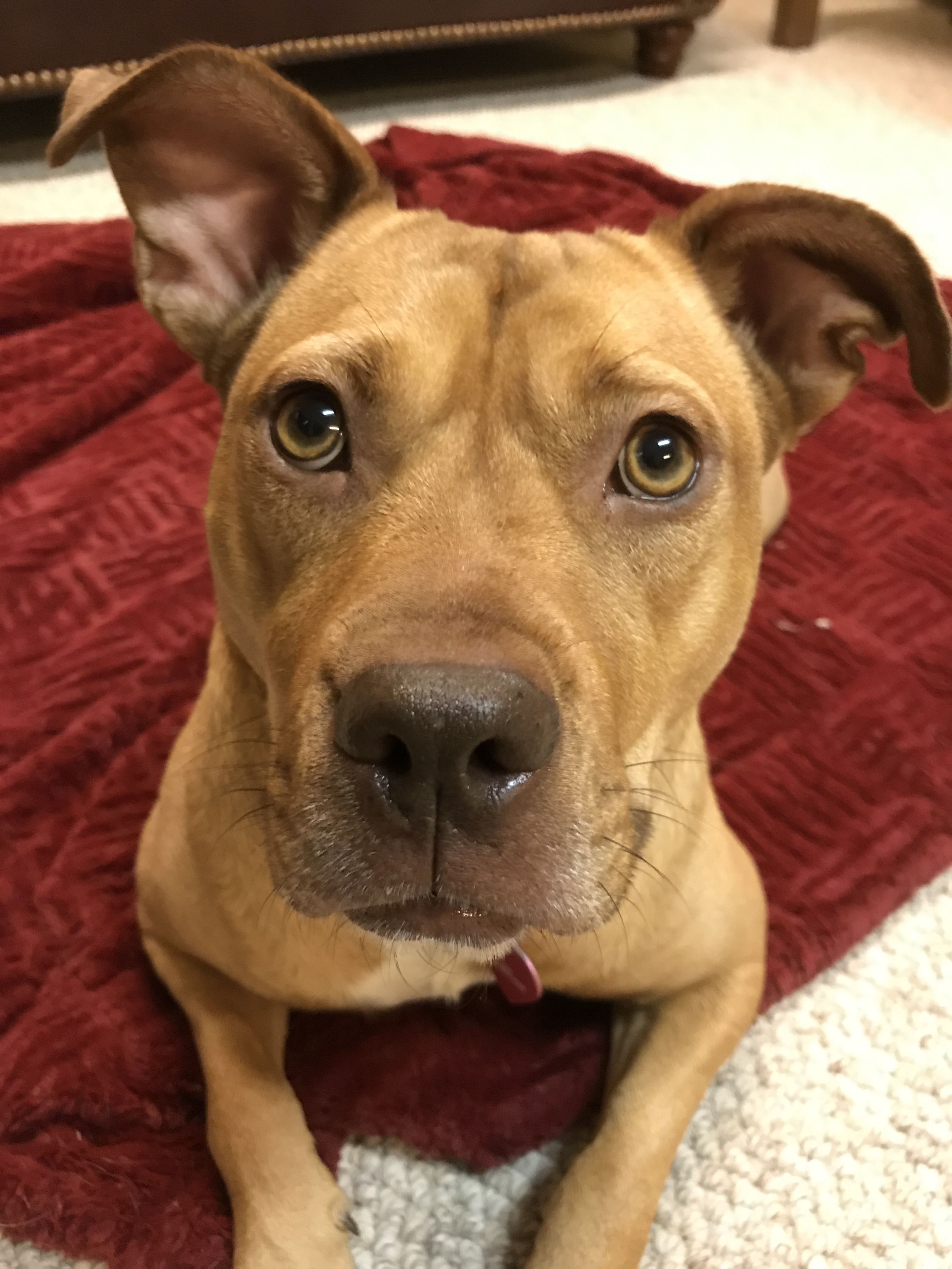 Meet Amazing Suzu Bailey An Adoptable Pet Dog Kitten Adoption Pets Pitbull Terrier