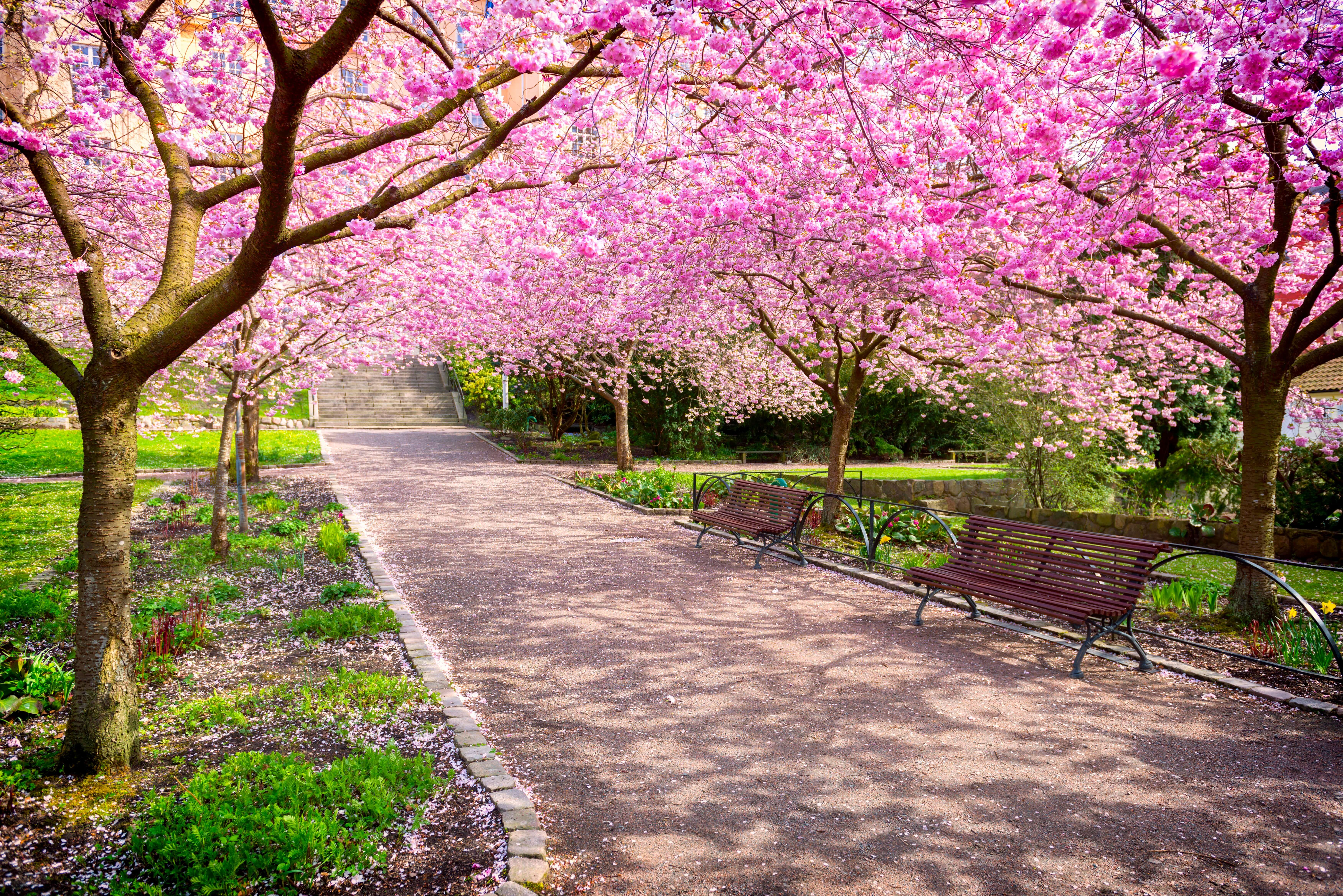 Visit Sakura Park In Nyc Cherry Tree Growing Cherry Trees Nyc Attractions