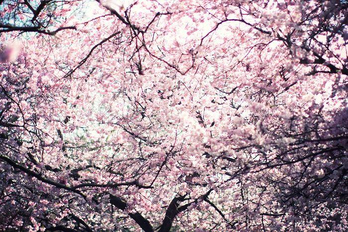 Pin On Cherry Blossom