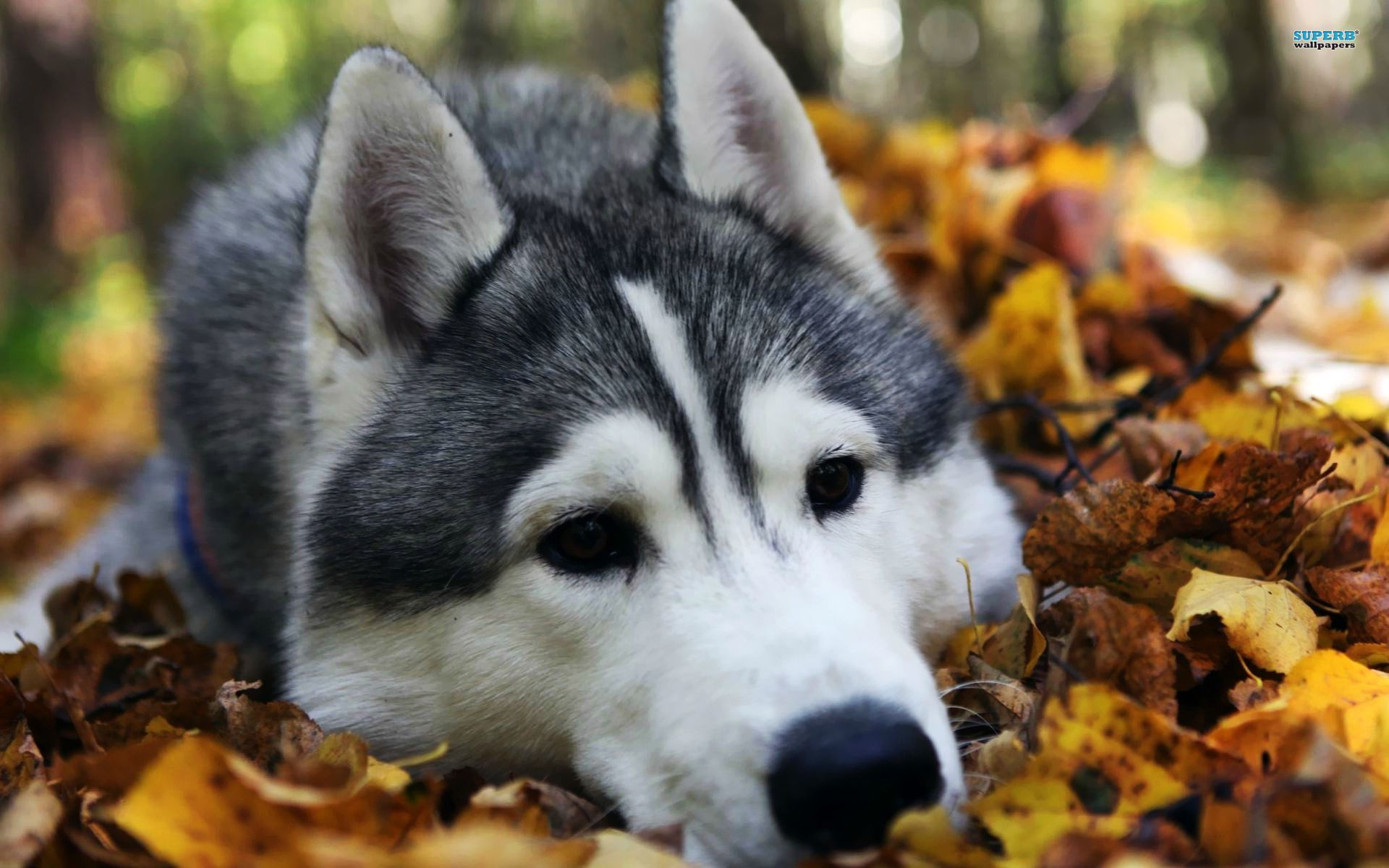 Husky Computer Background Animal Hd Wallpapers Cute Animals Husky Dogs Dogs And Puppies