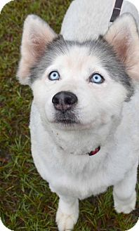 11 11 15 Sl Pictures Of Bella A Siberian Husky For Adoption