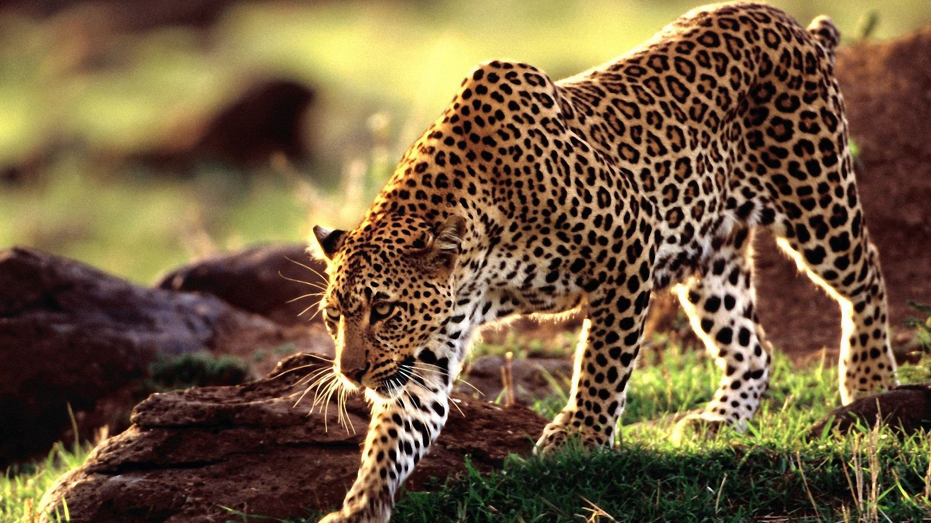 wallpaper amur leopard animal - photo #12