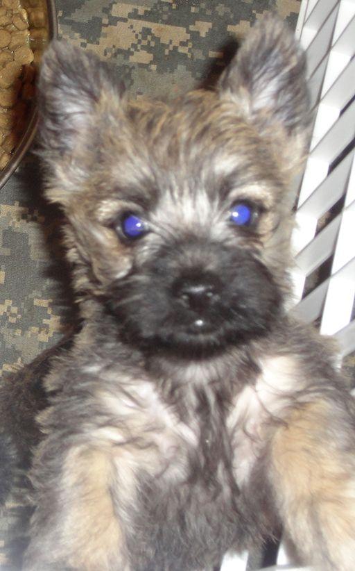 Food Cairn Terrier Cairn Terrier Puppies Cairn Terrier Terrier