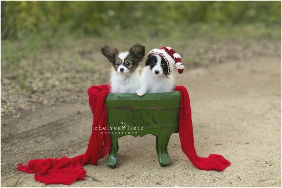 San Antonio Photographer Puppies! Papillon puppy