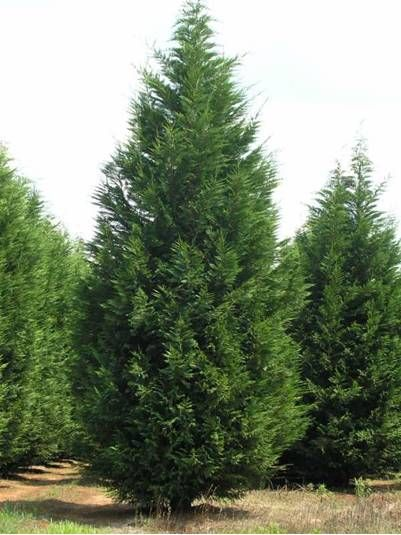 Leyland Cypress Tree 70 ft. tall. Sound and Windbreaker ...