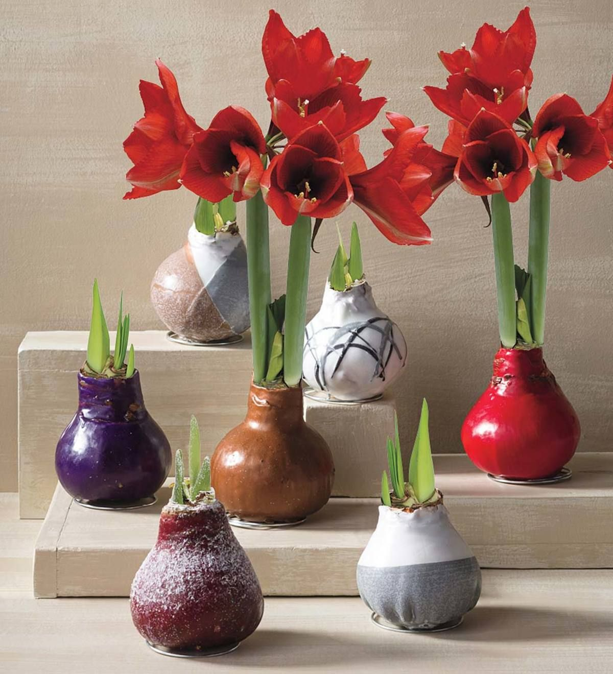 No Water Wax Dipped Amaryllis Bulb Black With Snow Vivaterra In 2020 Amaryllis Bulbs Flower Bulb Gifts Bulb Flowers