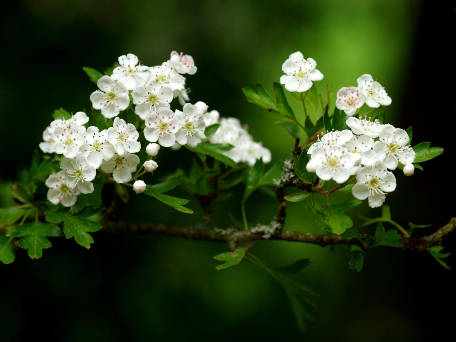 White. Spring flowers wallpaper, White flower wallpaper