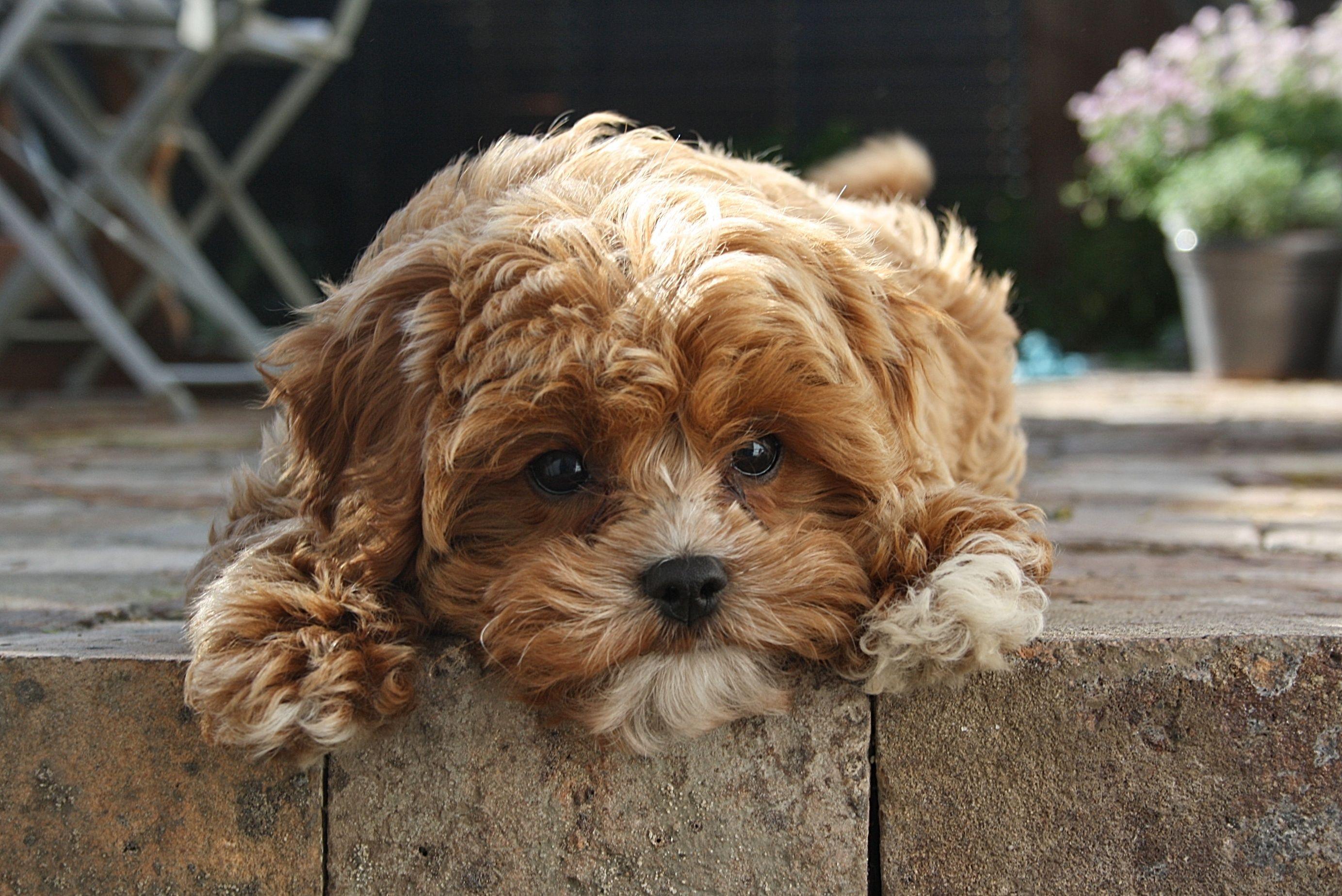 cavoodle Cavoodles Pinterest Dog, Animal and Poodle