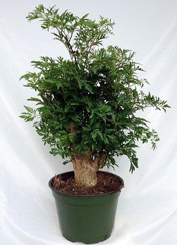 Japanese Ming Aralia Tree Polyscias Fruticosa Indoor 6 Quot Pot Large Trunk 14 99 14 Off цветы
