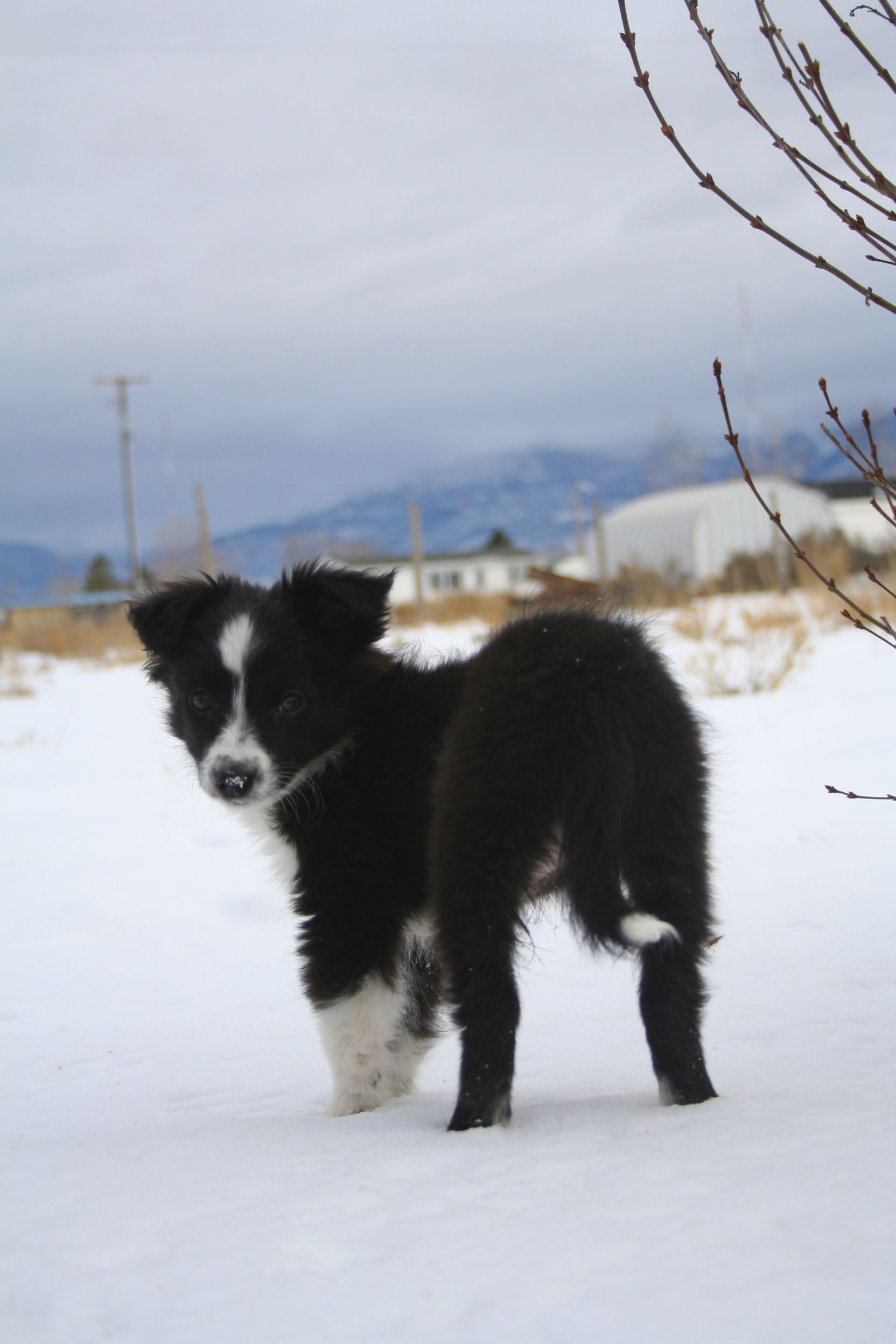 Mini Australian Shepherd Border Collie Puppy Collie Puppies