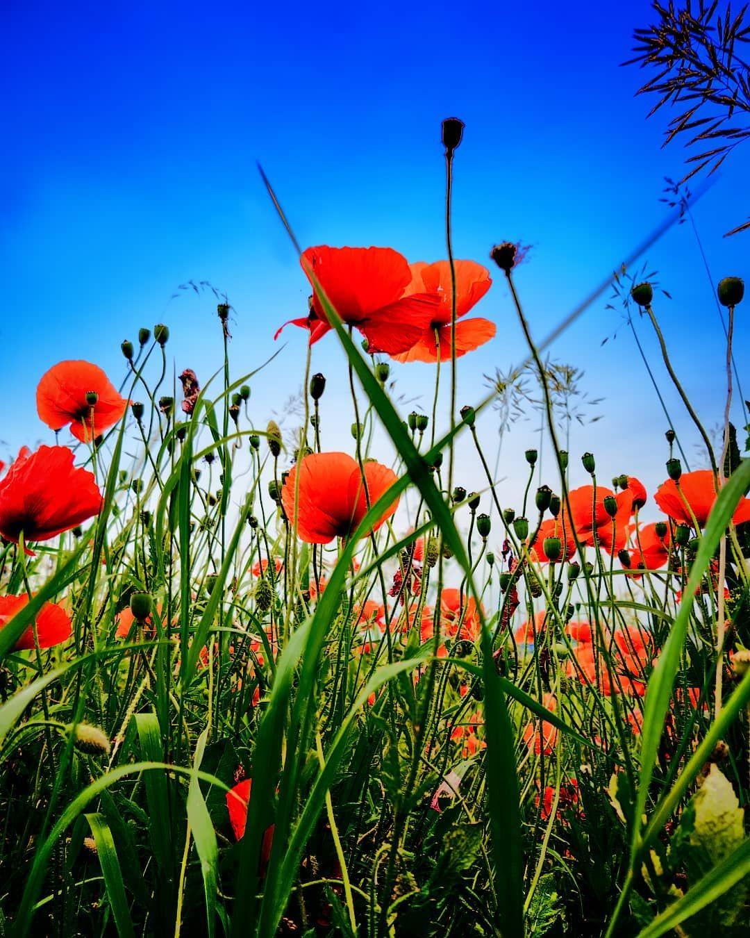 Sky Nature Summer Flower Floral Growth Season Field Flora Poppy Blooming Klatschmohn Mohnblumen Blumen Feld Wiese Mohnblume Mohn Blauer Himmel