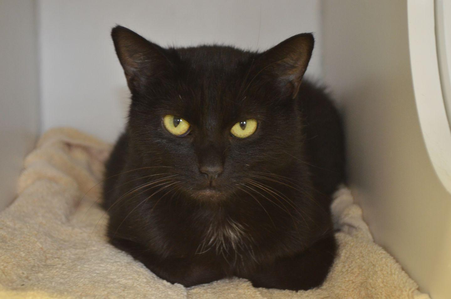 Adopt Tiffany On Petfinder Cats Short Hair Cats Pets