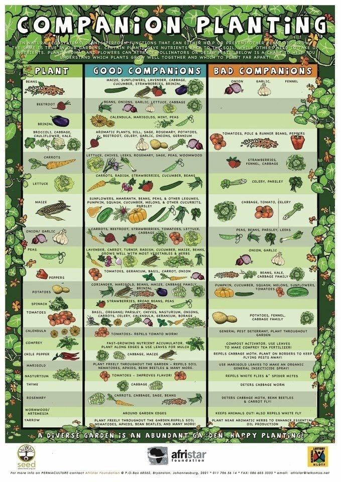 Companion planting chart to help with your veggie gardens ...