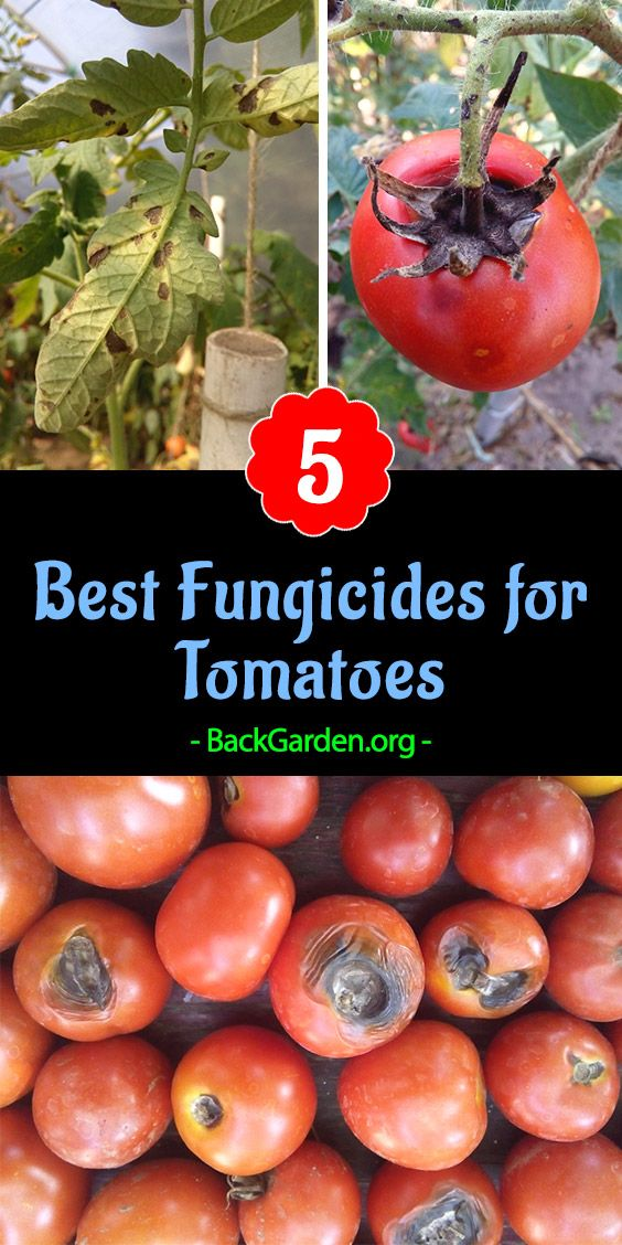 5 Best Fungicides For Tomatoes Prevent Blight Fungal 400 x 300