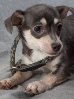 Pictures Of Mya A Chihuahua For Adoption In Colorado Springs Co